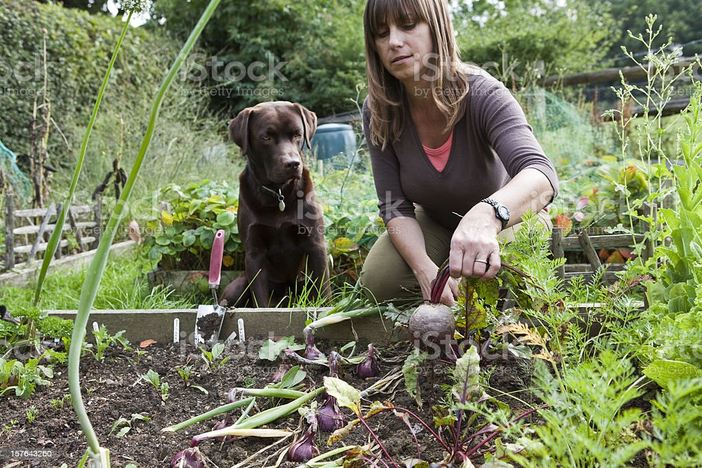 Woman in Vegetable Garden with Pet Labrador Dog royalty-free stock photo