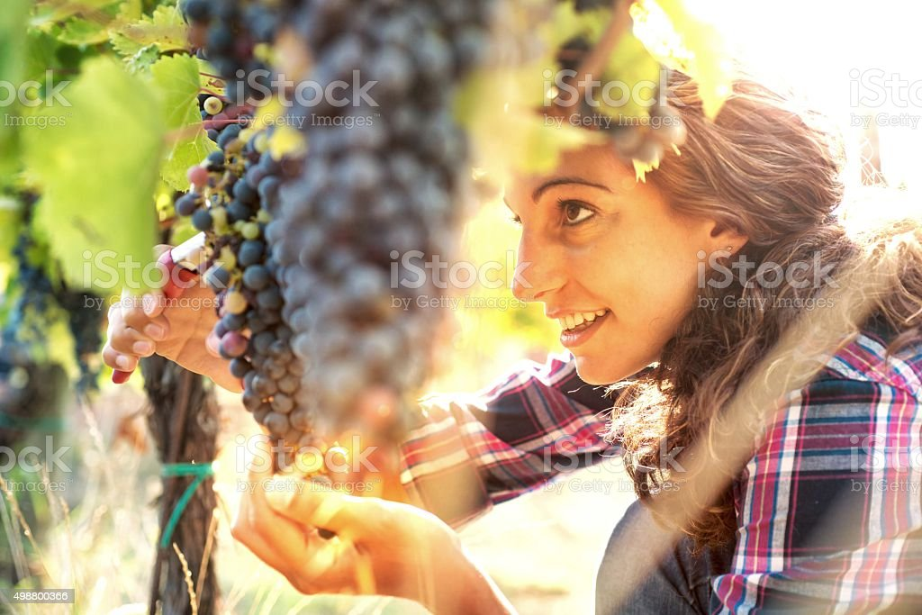 Woman in Vineyard Harvesting Grapes stock photo