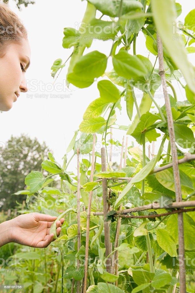 Woman inspecting sweet pea plants growing in community garden stock photo