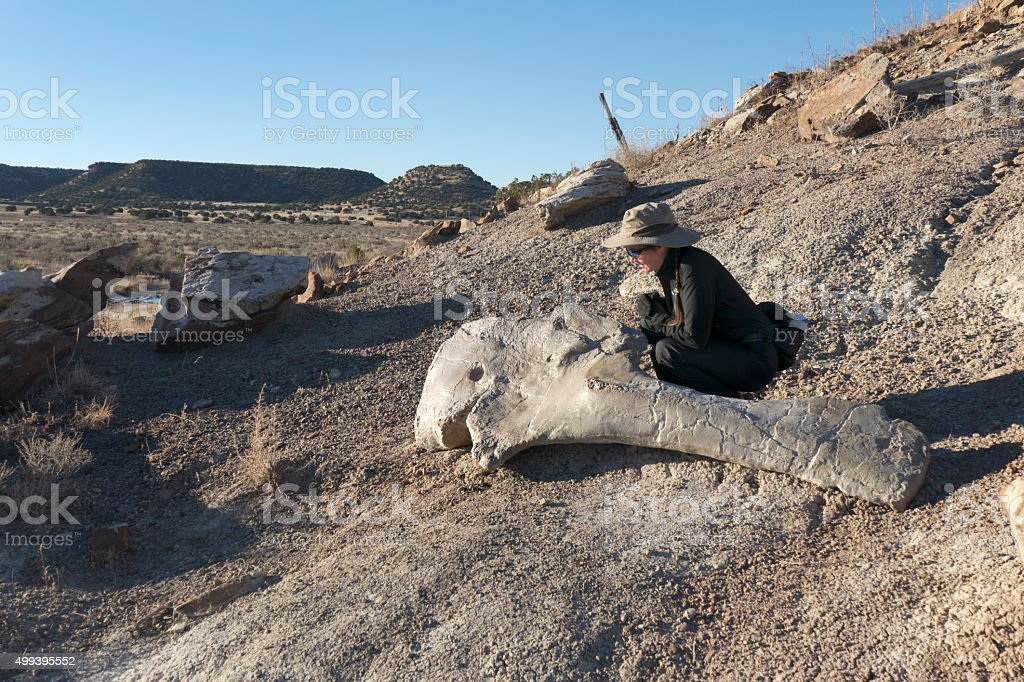 Woman inspects Apatasaurus shoulder blade Colorado stock photo