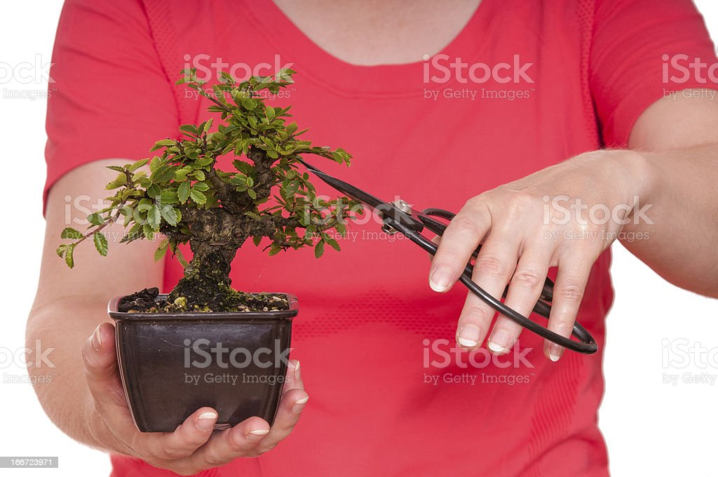 Woman is cutting a bonsai tree royalty-free stock photo