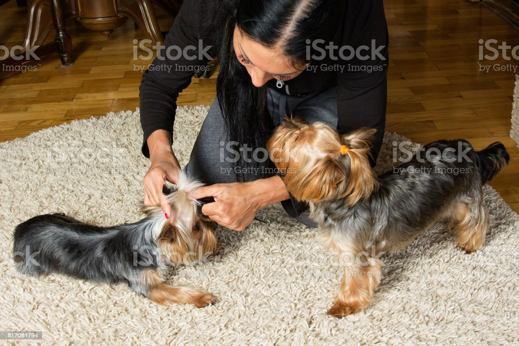 Woman is making a top knot on a dog's head, the other dog is near on the carpet stock photo