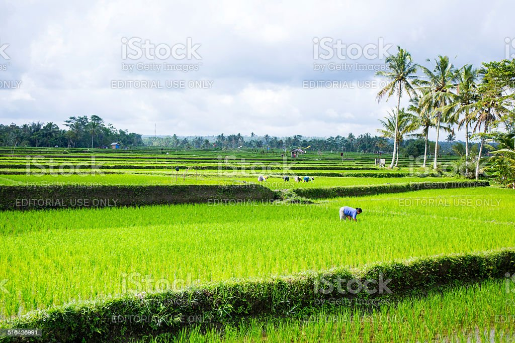 Woman is working in a green rice field, Bali, Indonesia stock photo