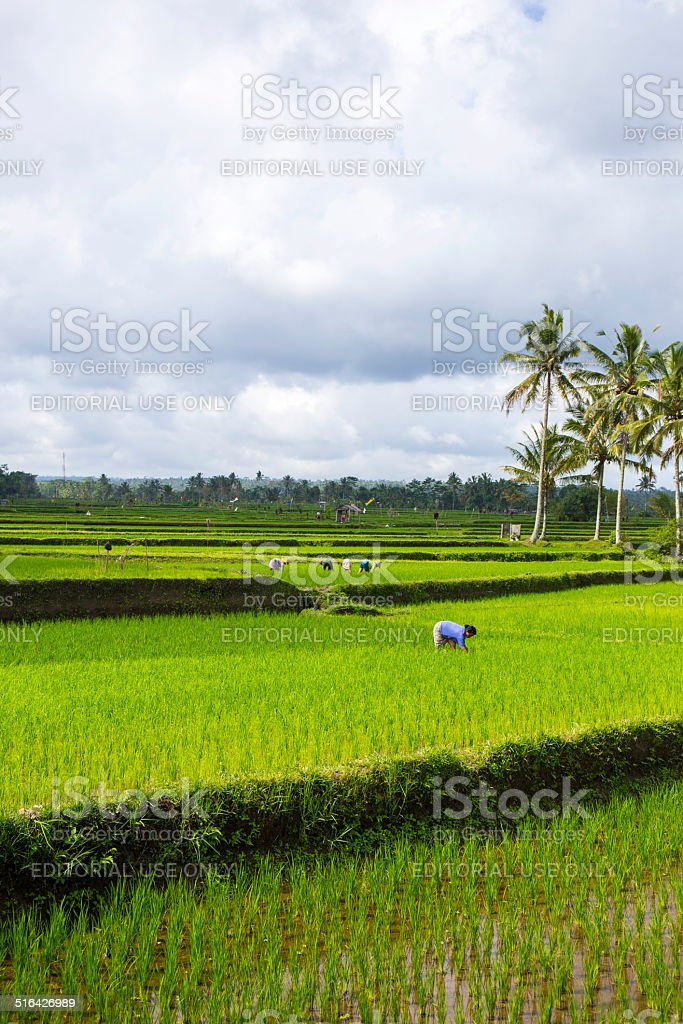 Woman is working in a rice field, Bali, Indonesia stock photo