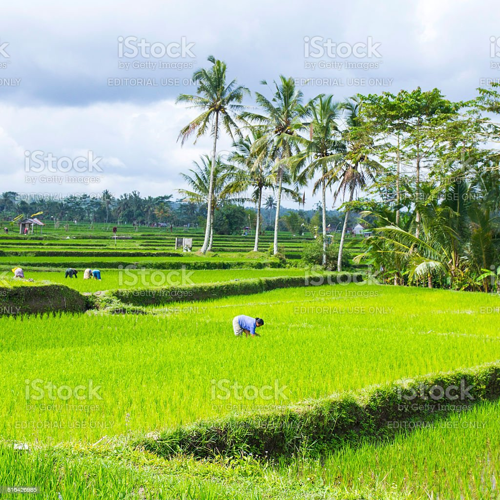 Woman is working in a rice field. Square image stock photo