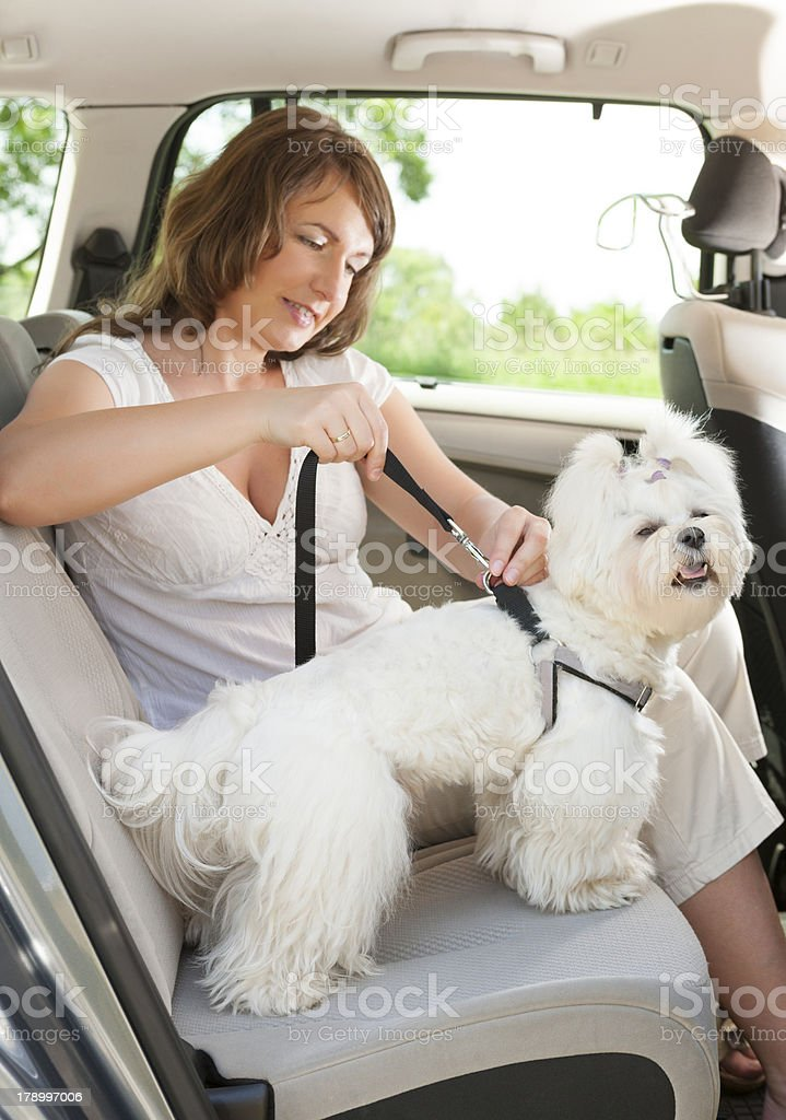 A woman keeping her dog safe in the car stock photo