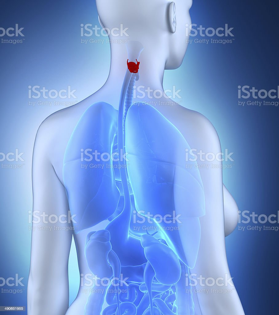 Woman larynx anatomy white posterior view royalty-free stock photo