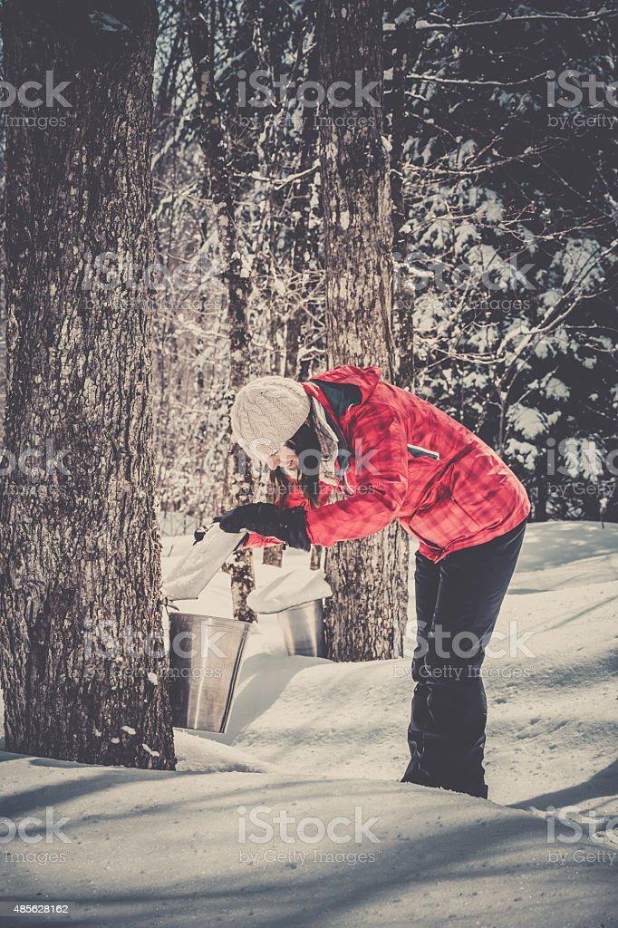 Woman Looking Inside Bucket Collecting Sap at Sugar Shack stock photo