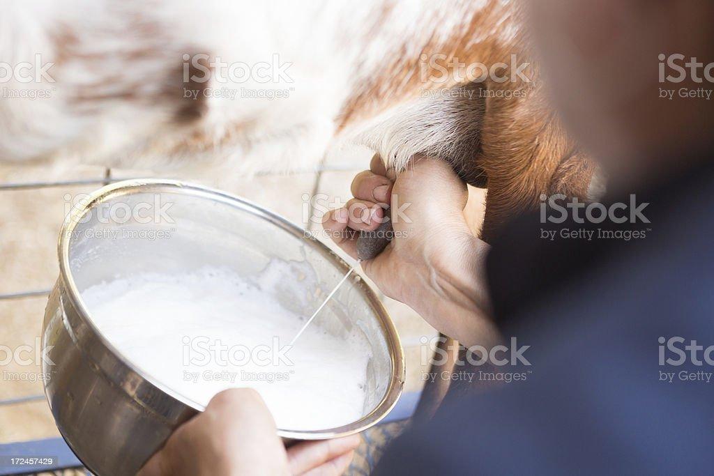 Woman milking goat on rural farm stock photo