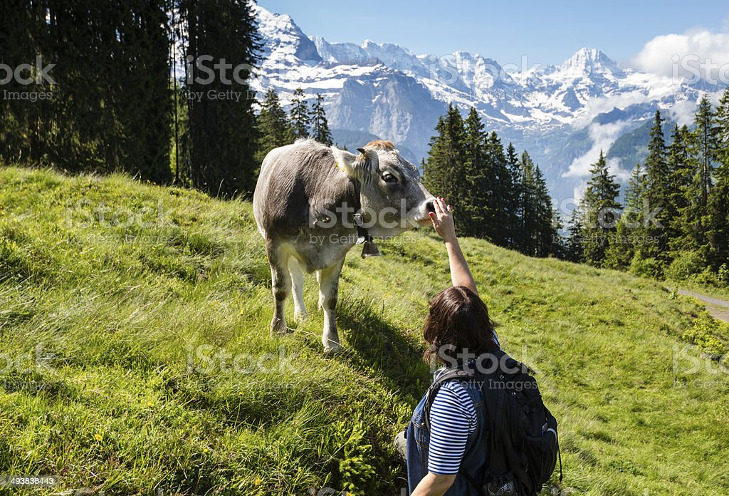 Woman petting a friendly calf with mountains in background -XXXL royalty-free stock photo