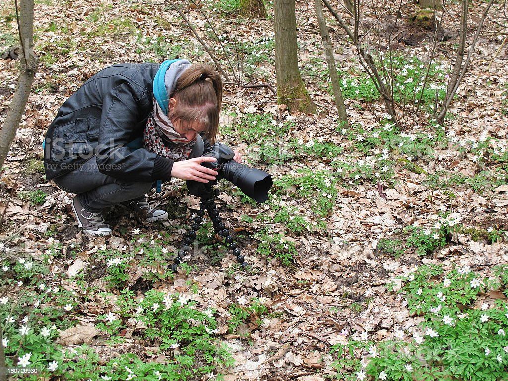 woman photographing Wood Anemone stock photo