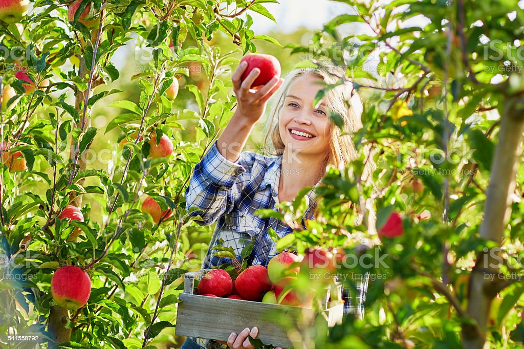 Woman picking apples in wooden crate on farm stock photo