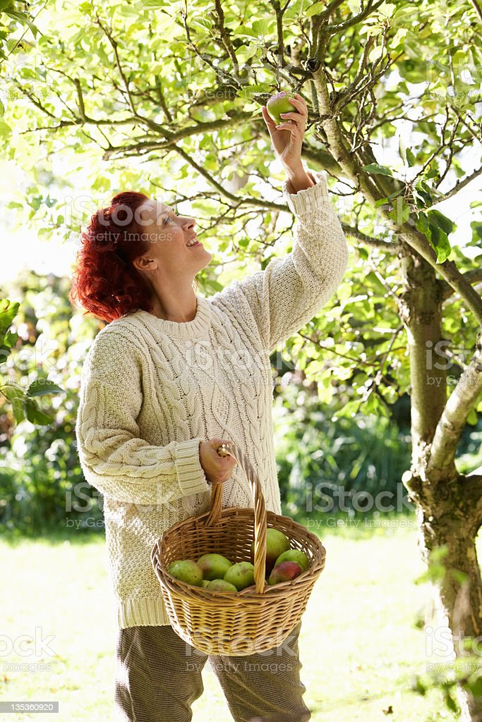 Woman picking apples off tree royalty-free stock photo