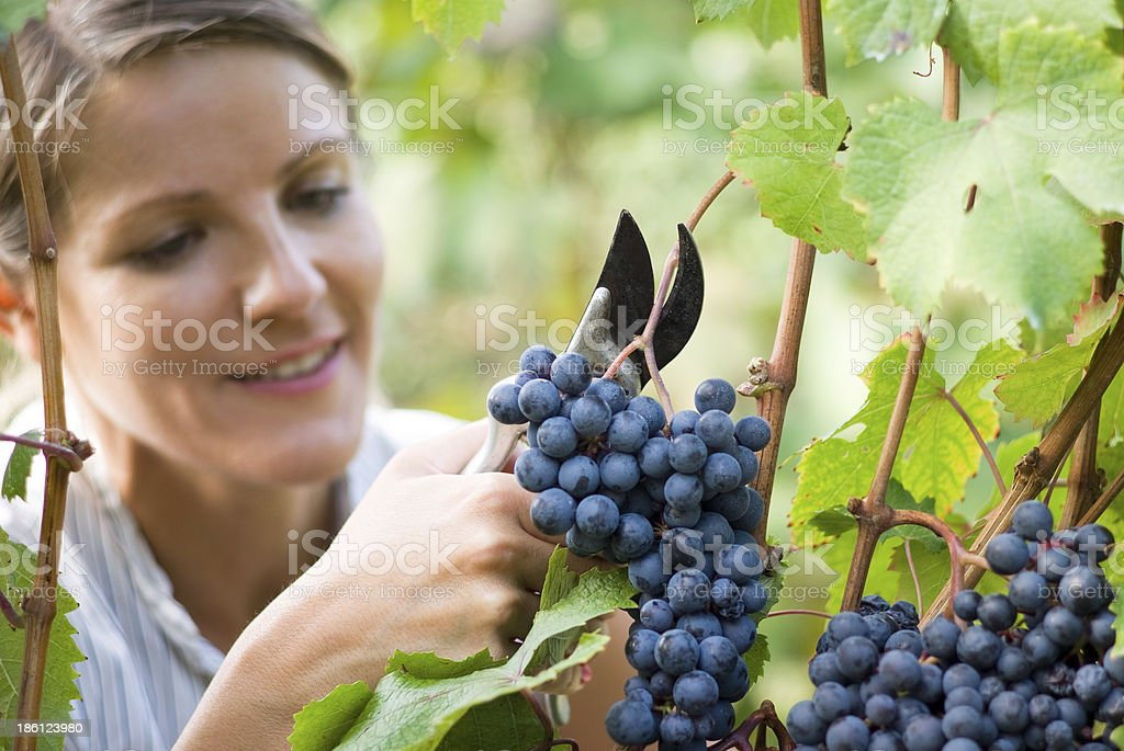 Woman picking fresh grapes from the vineyard stock photo