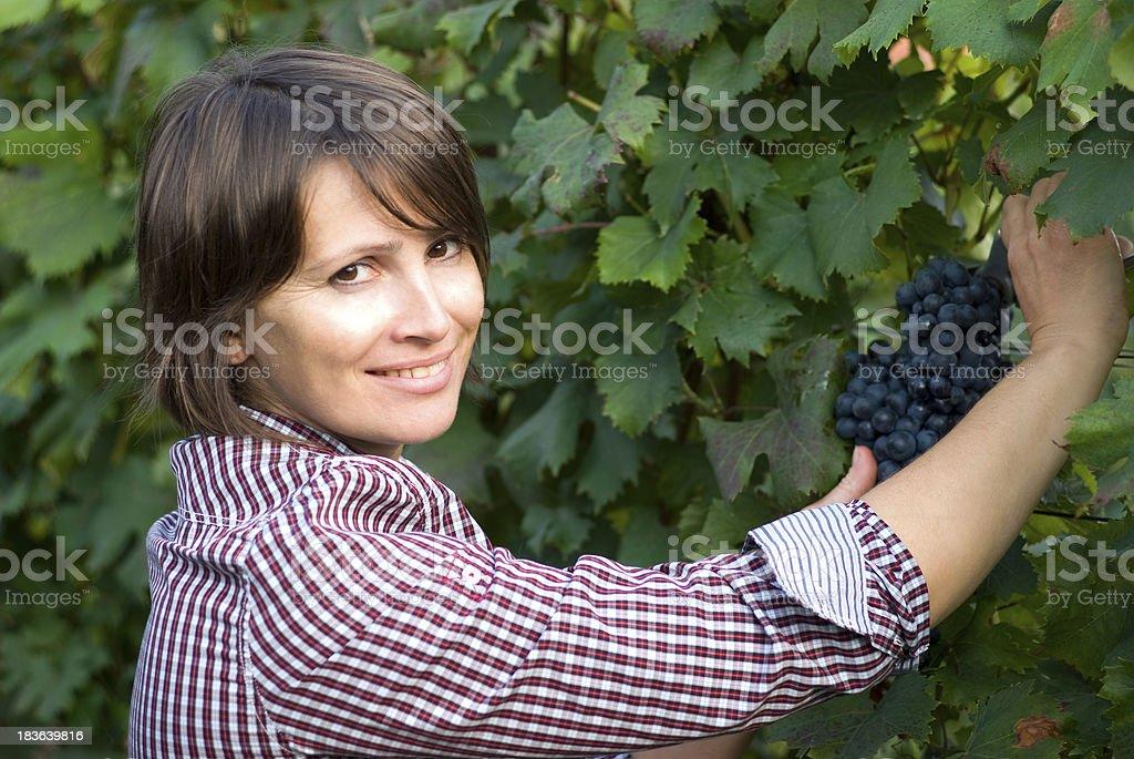 Woman picking grapes stock photo