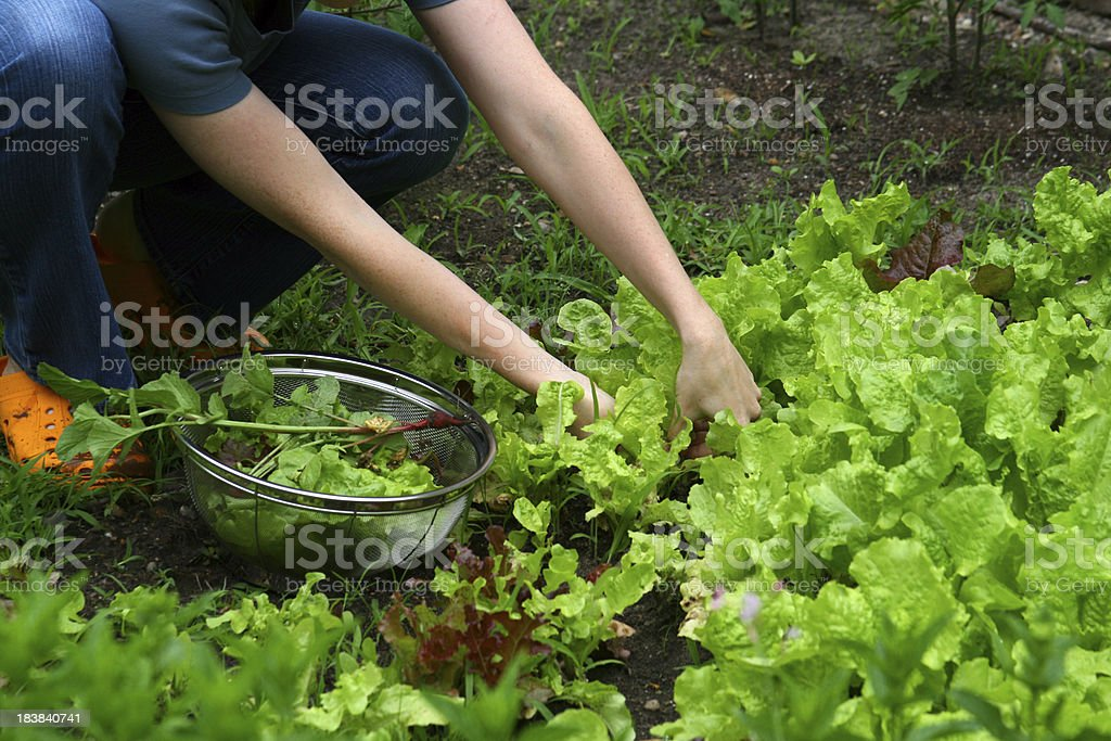 Woman Picking Romaine Lettuce in a Small Garden stock photo
