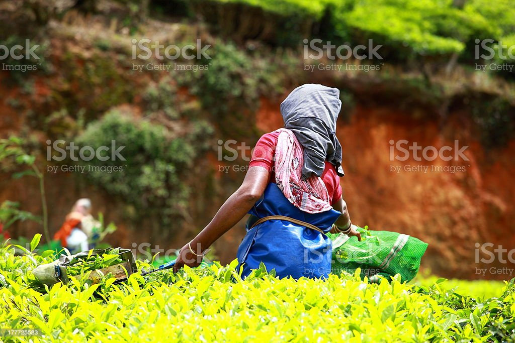 Woman picking tea leaves in a plantation. stock photo