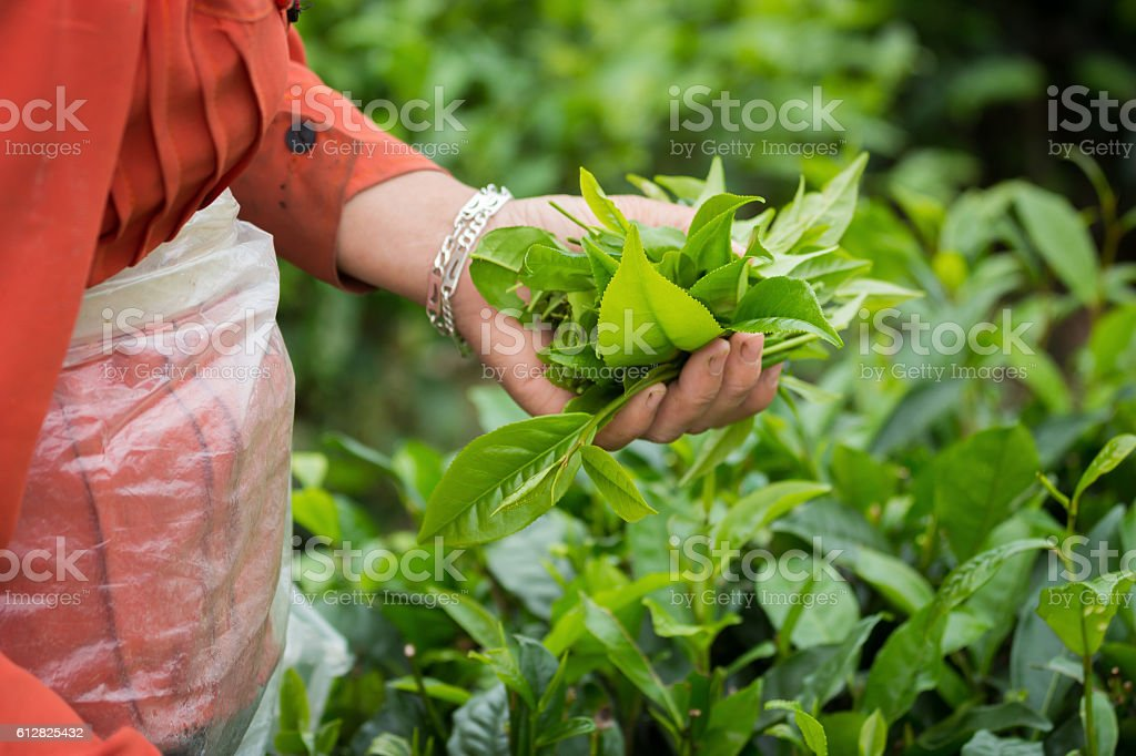 Woman picking tea leaves, with hands on a tea plantation. stock photo