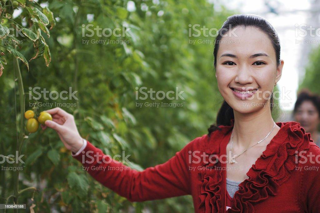 Woman Picking Tomatoes - XLarge royalty-free stock photo