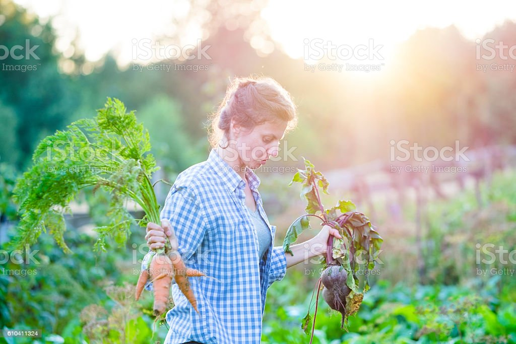 Woman picking vegetables in garden stock photo
