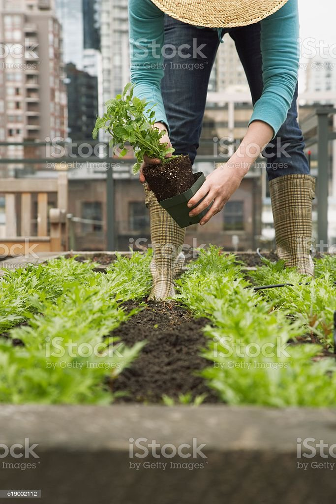 Woman planting in roof garden stock photo