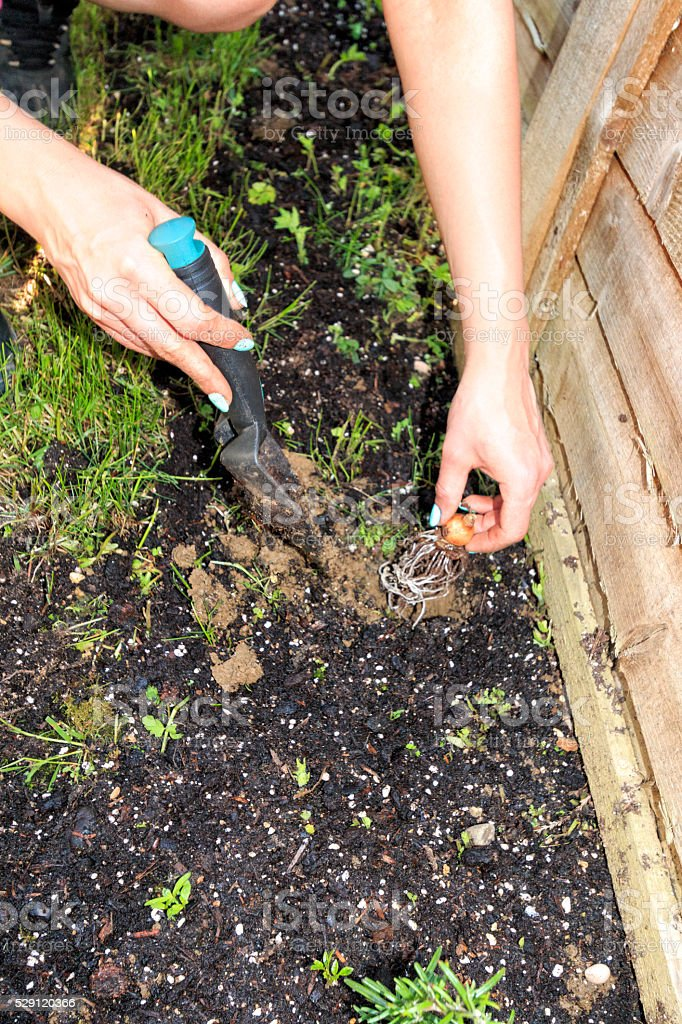 woman planting in soil stock photo
