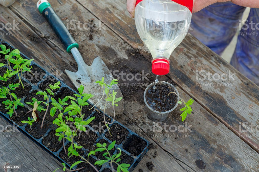 Woman planting seedlings in cups stock photo