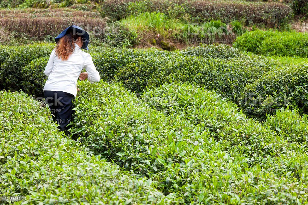 Woman Plucks Tea Leaves, Long Jing, Hangzhou, China stock photo