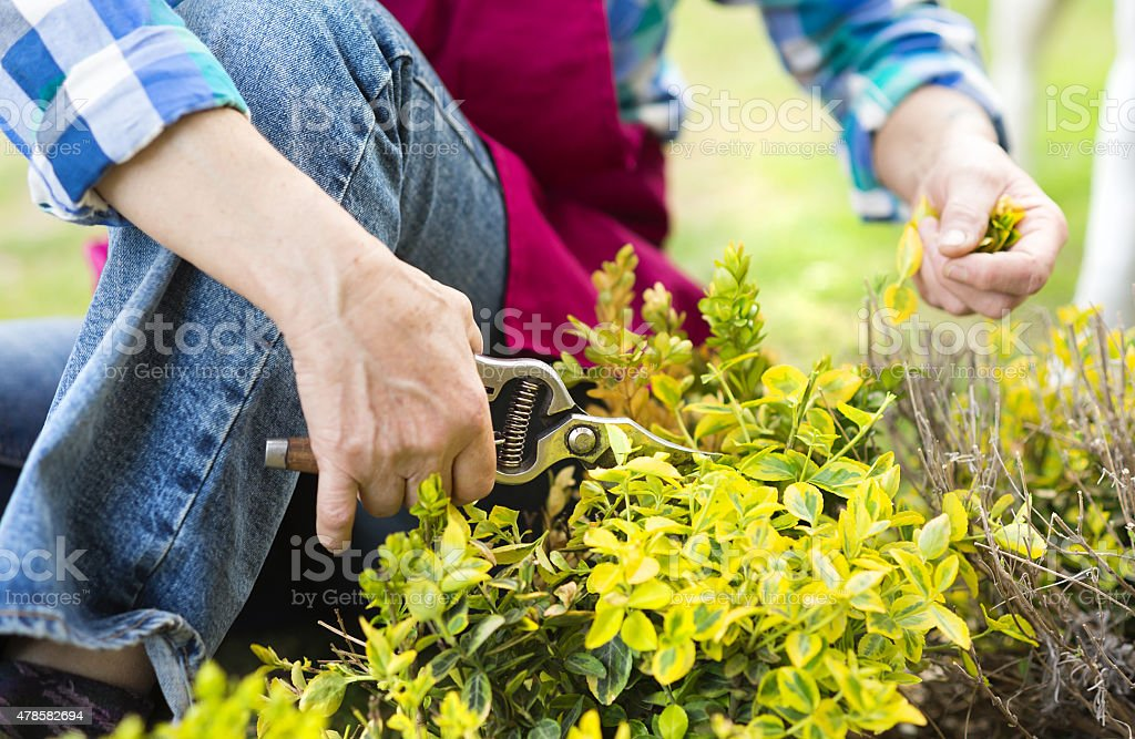 Woman pruning a bush stock photo
