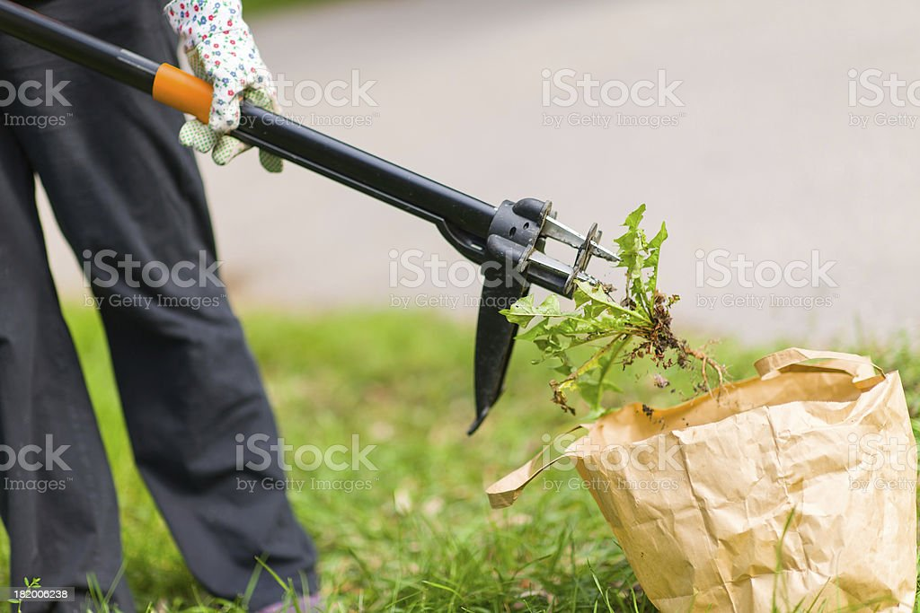 Woman pulling weeds royalty-free stock photo