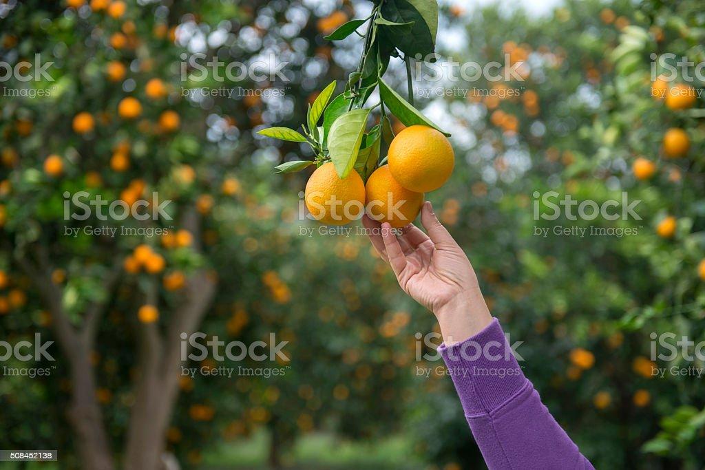 Woman reaching for an orange stock photo