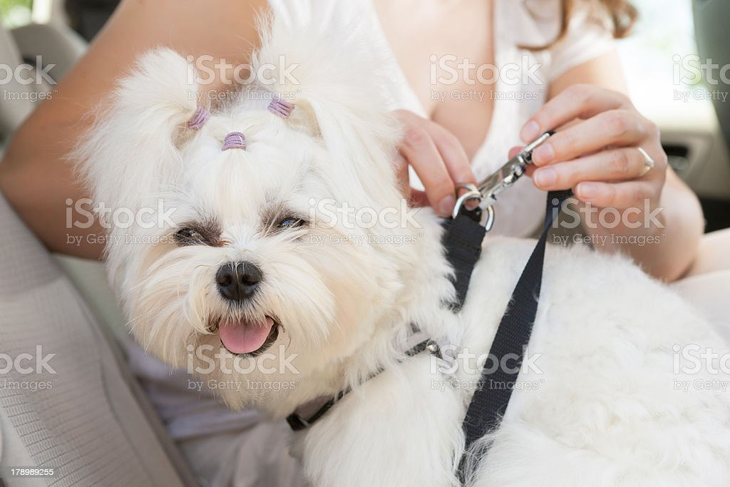 Woman secures leash on small dog in car royalty-free stock photo