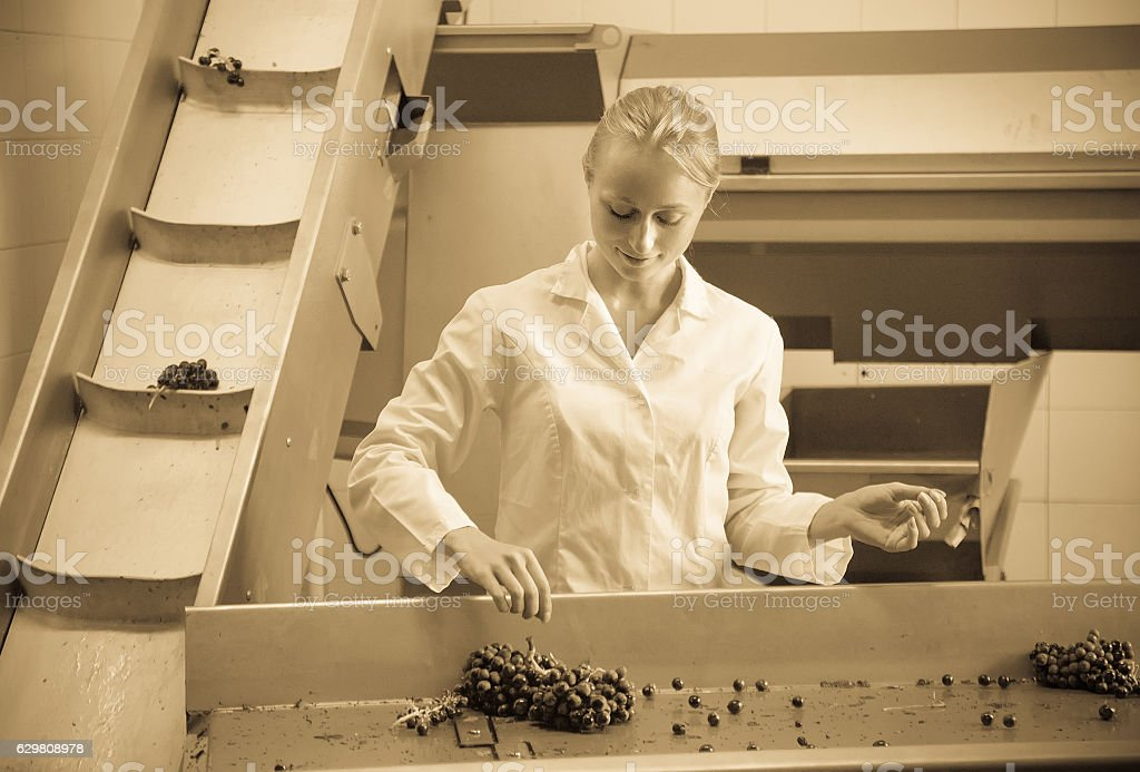 woman sorting grape for wine at transporter stock photo