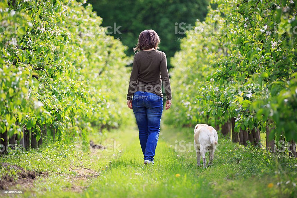 Woman strolling with an orchard Labrador stock photo