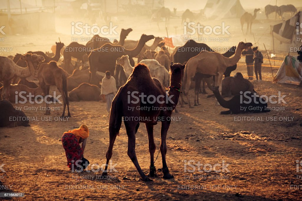 A woman sweeper cleaning camel dung at Pushkar Cattle Fair stock photo