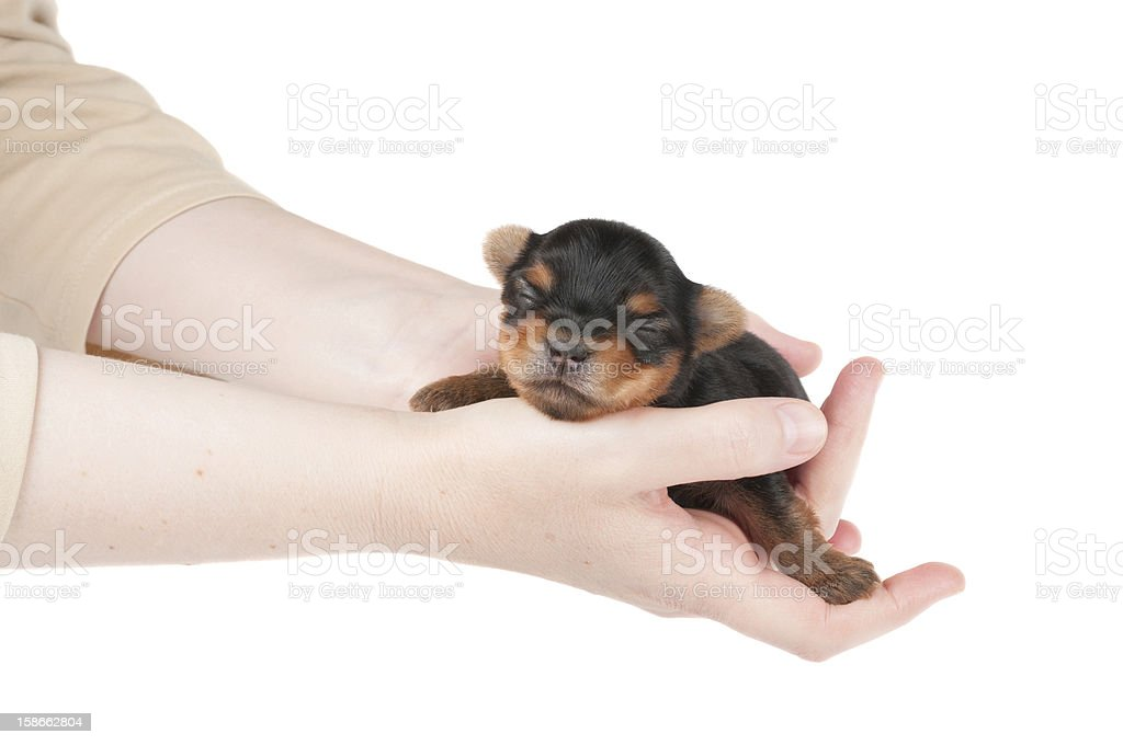 Woman takes two week old puppy royalty-free stock photo