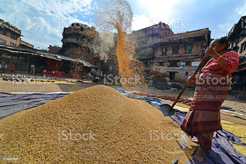 Woman threshing grain stock photo