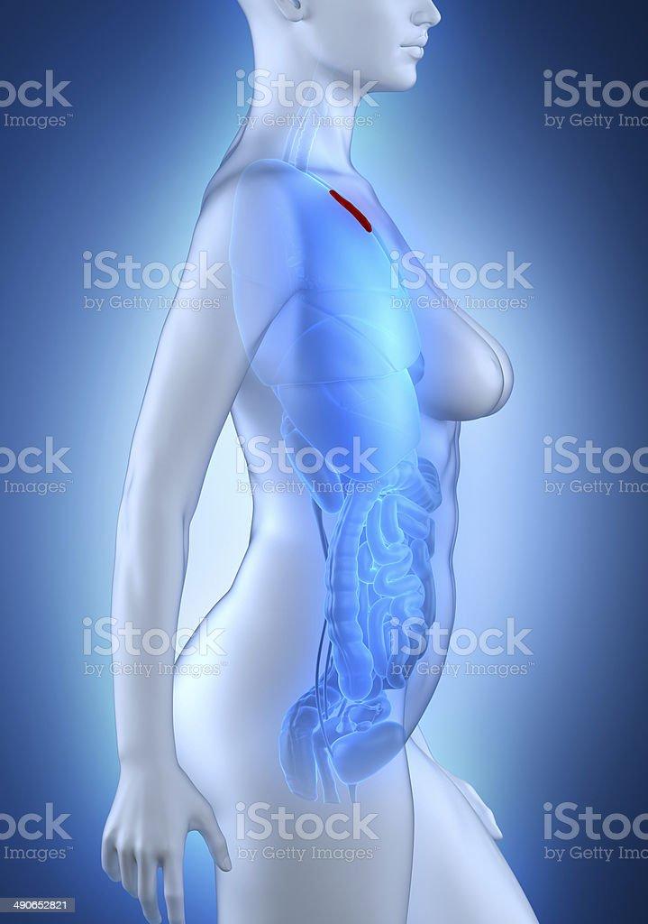 Woman thymus anatomy white lateral view stock photo