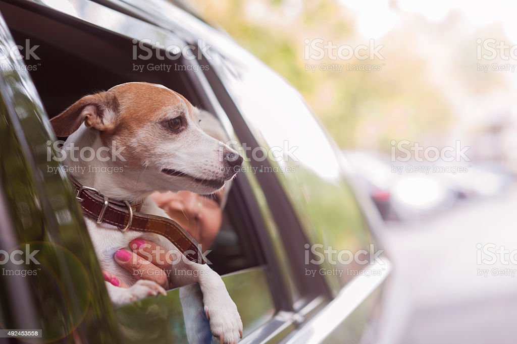 woman traveling by car with a dog stock photo