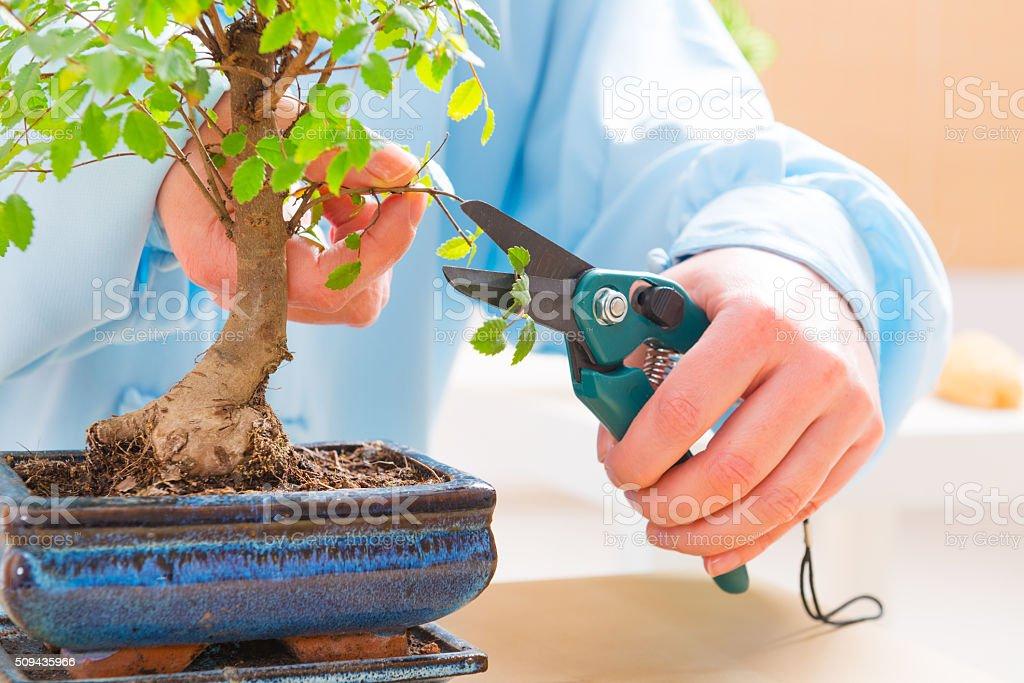 Woman trimming bonsai tree stock photo