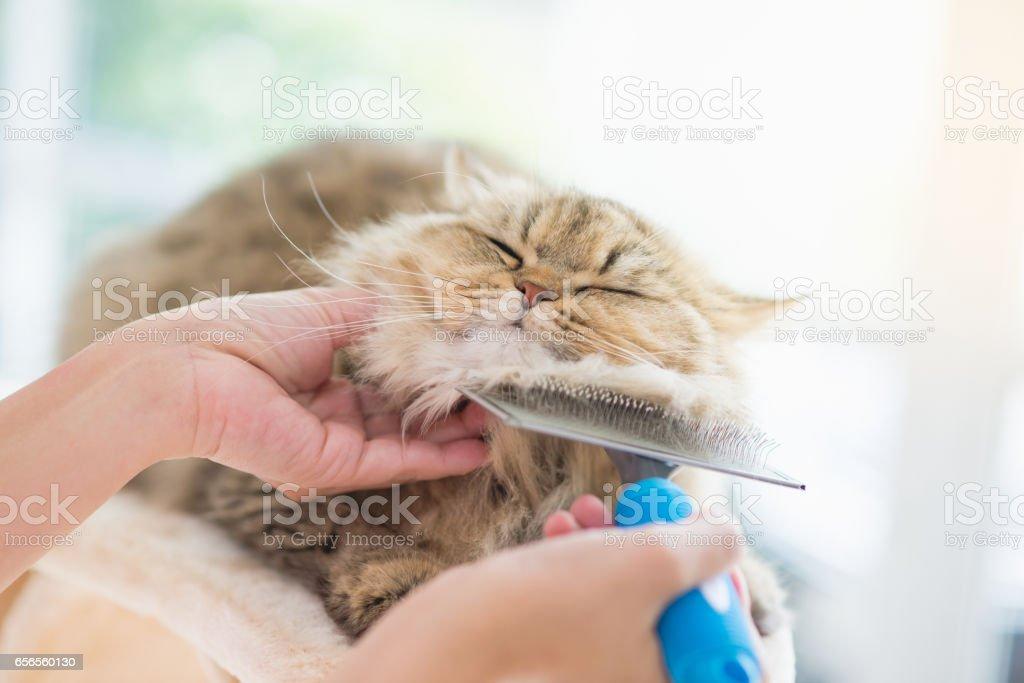 Asian woman using a comb brush the Persian cat