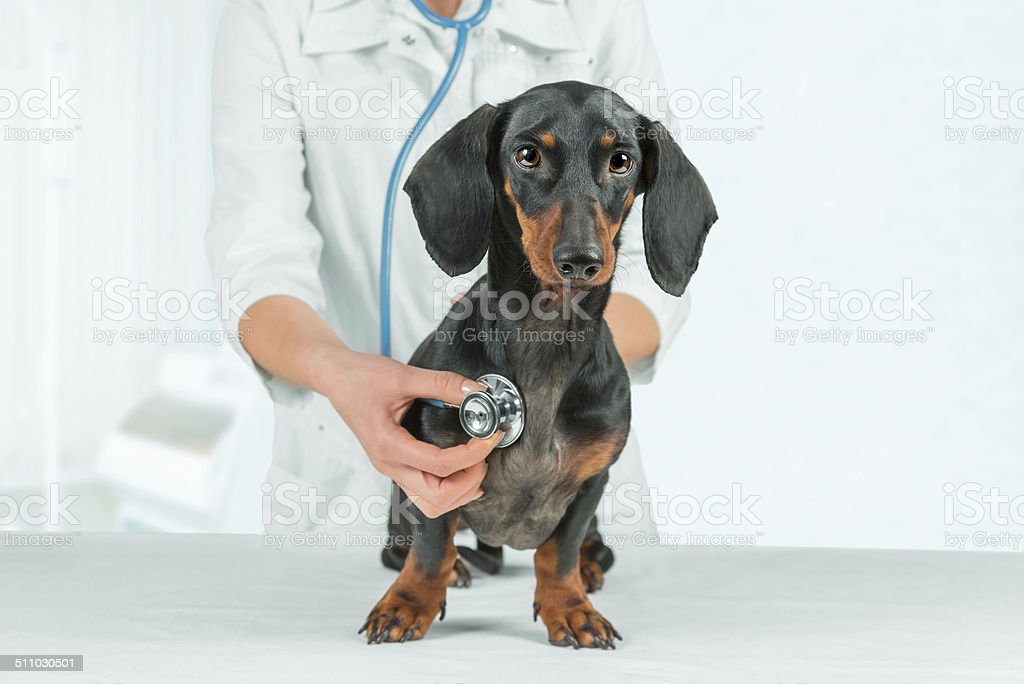 Woman veterinarian listens dachshund stock photo
