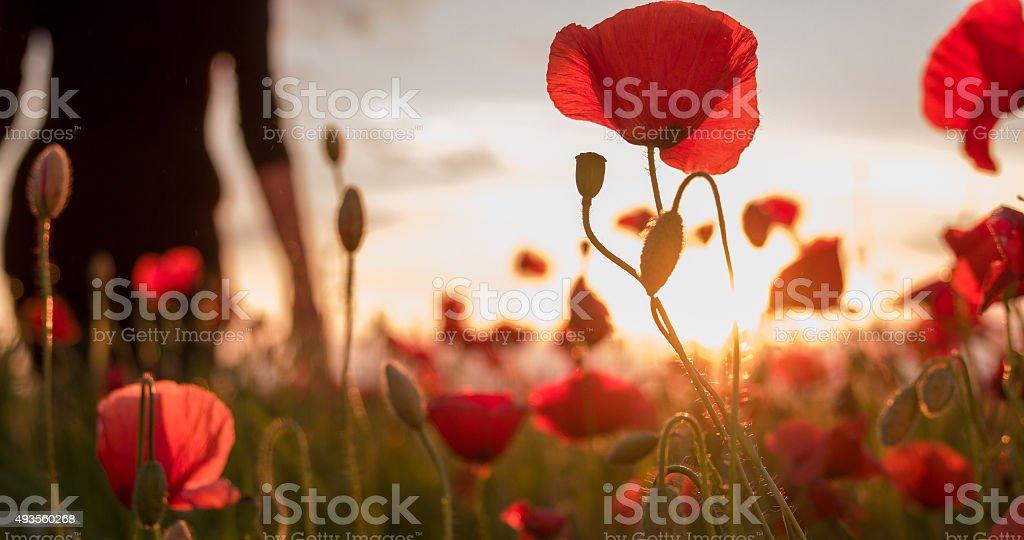 Woman Walking Through Poppy Field stock photo