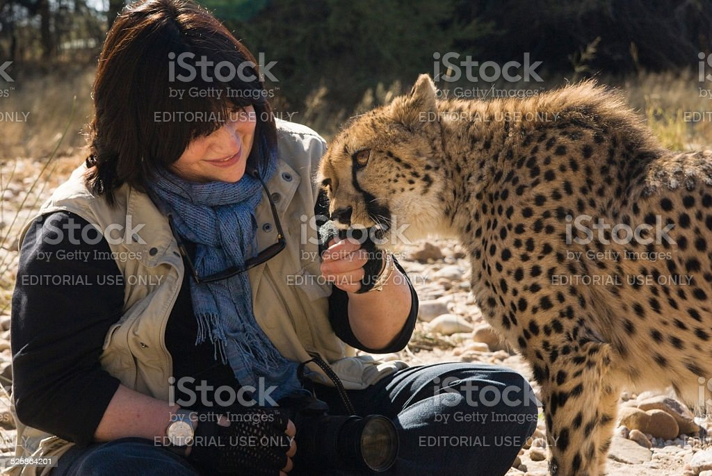 Woman watches cheetah gnaw on her glove stock photo