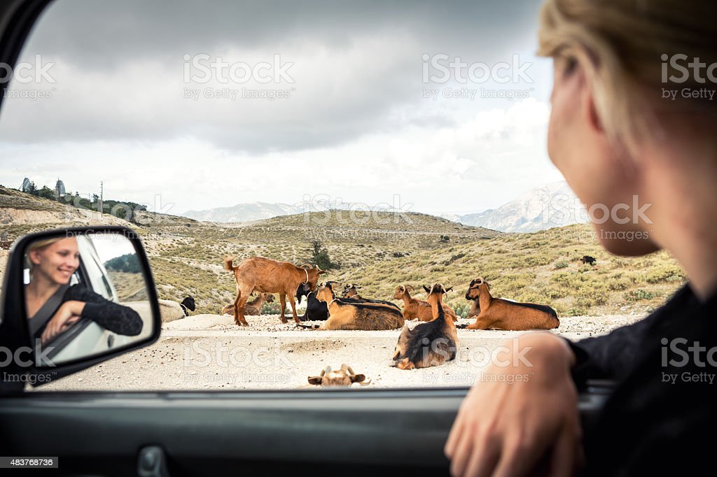 Woman Watching Group Of Goats From The Car stock photo