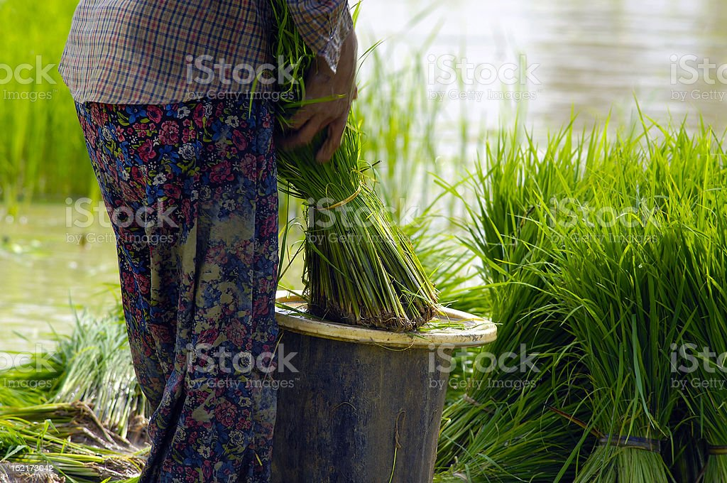 Woman working at the rice field stock photo