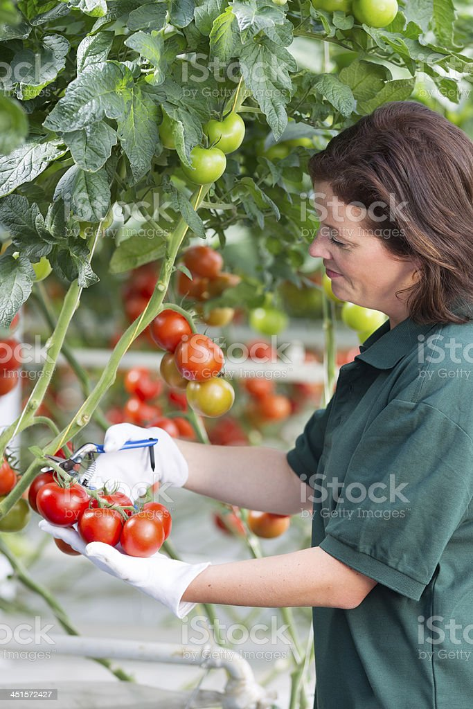 Woman working in a glasshouse, picking bunch of tomatoes royalty-free stock photo