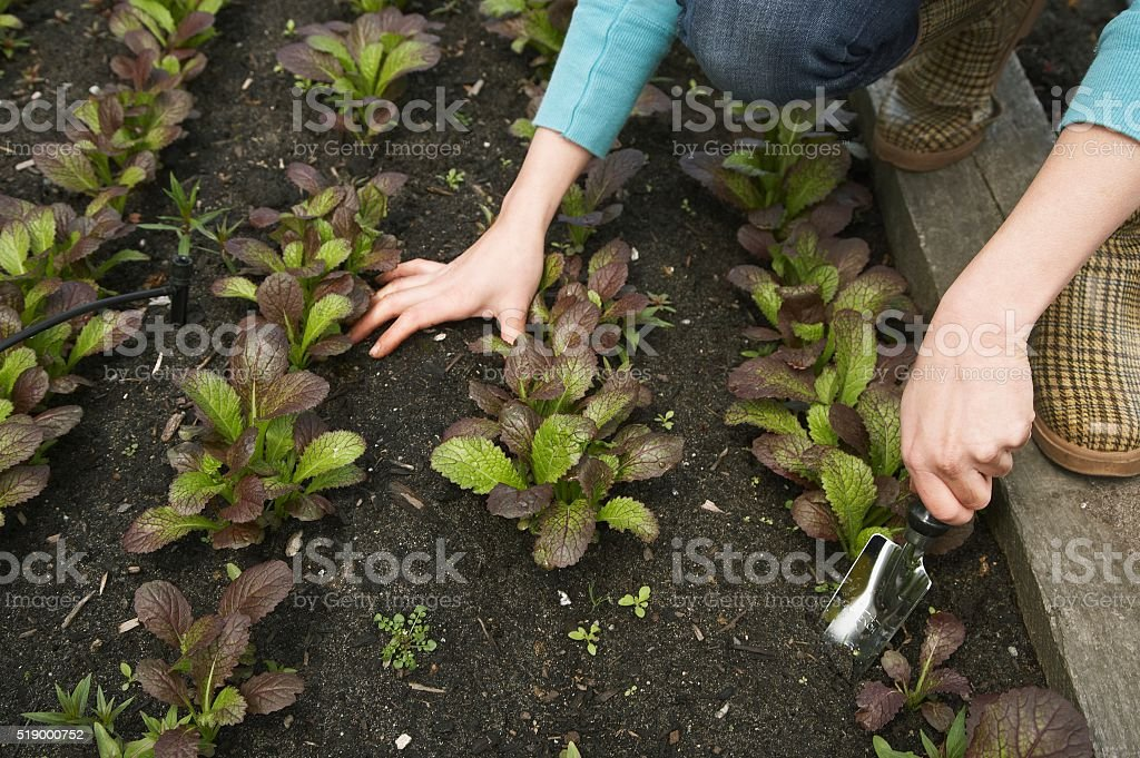 Woman working in vegetable garden stock photo