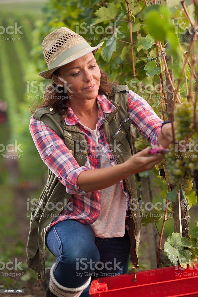 Woman working in vineyard stock photo