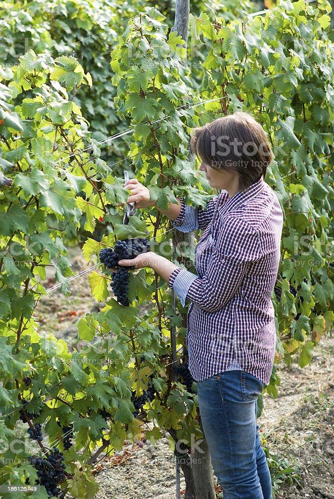 Woman working in vineyards stock photo